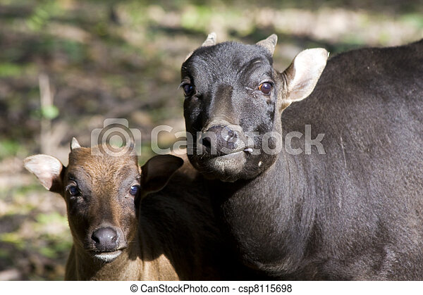 Lowland anoa calf and mother - csp8115698