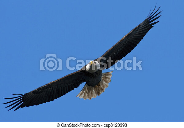 Bald Eagle In Flight - csp8120393
