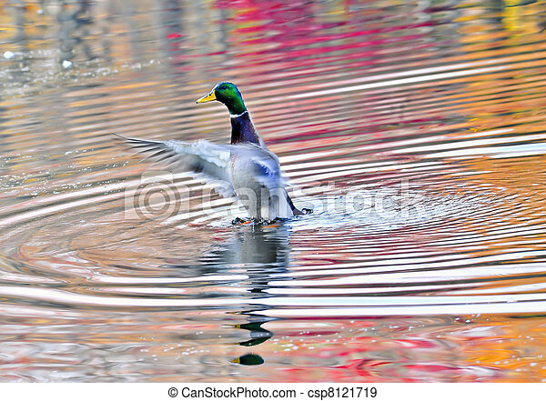 Duck on an Autumn pond in the Chesapeake Bay Maryland - csp8121719