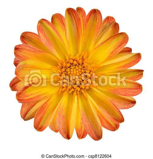 Dahlia Flower with Orange Yellow Petals Isolated - csp8122604