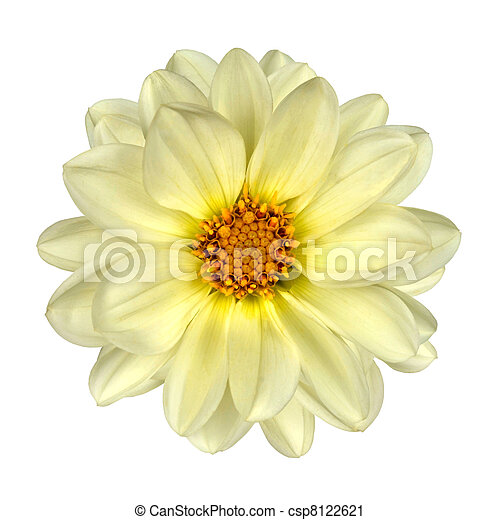 White Dahlia Flower Yellow Center Isolated - csp8122621