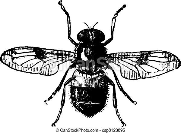 Volucella, vintage engraving. - csp8123895