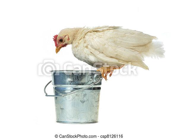 Chicken sits on bucket - csp8126116