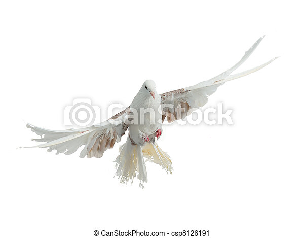 Flying bird of dove peacock breed - csp8126191