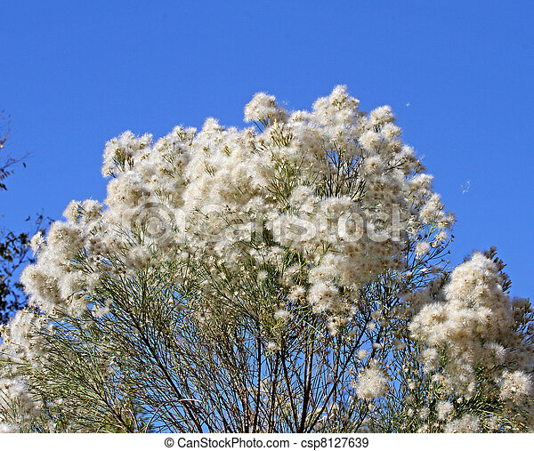 Desert Broom casting seed - csp8127639