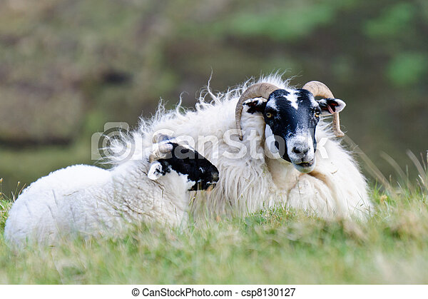picture of resting scottish blackface sheep with lamb