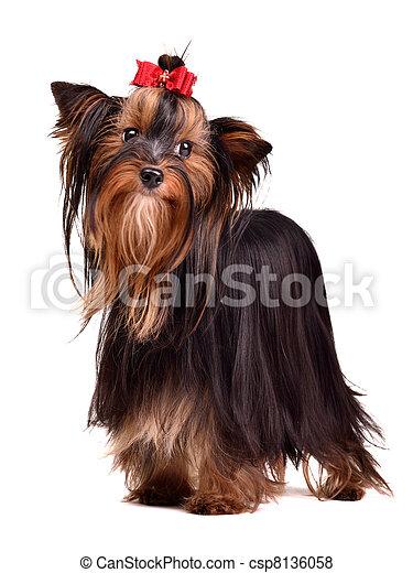 Beautiful Yorkshire Terrier - csp8136058