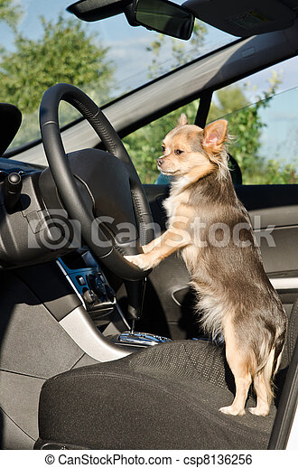 Chihuahua driver with paws on steering wheel - csp8136256