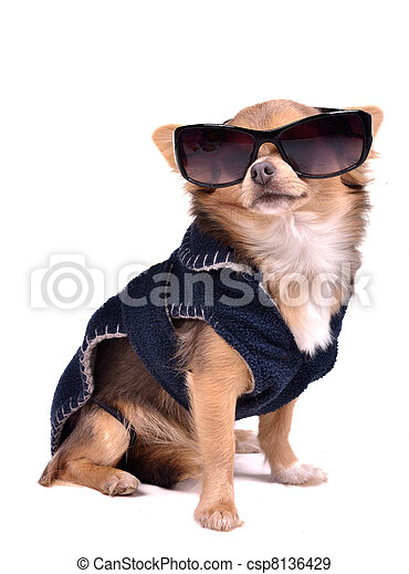 Serious chihuahua dog wearing dark blue jacket and black sunglasses, studio shot - csp8136429