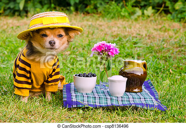 Small dog wearing suit and straw hat relaxing in meadow - csp8136496