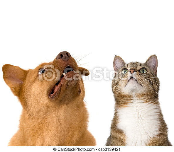 Dog and cat looking up - csp8139421