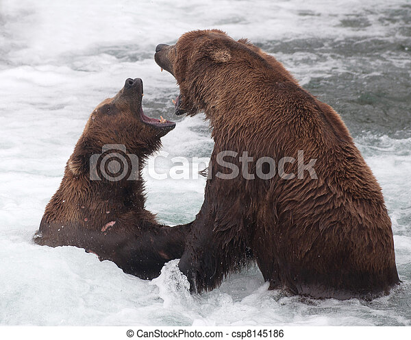 Two Alaskan brown bears fighting - csp8145186