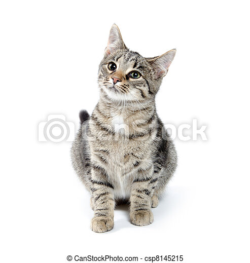 Pet tabby cat on white - csp8145215