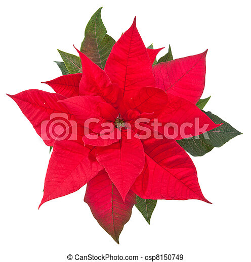 poinsettia flower on white - top view - csp8150749