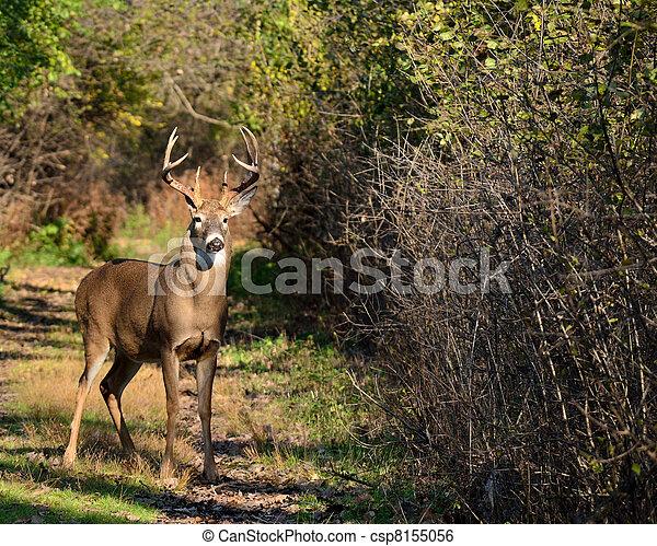 Whitetail Deer Buck - csp8155056
