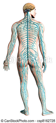 Human nervous system diagram. - csp8162728