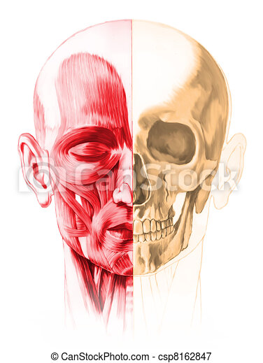 Frontal view of male human head, with half muscles and half skull. On white background. Anatomy image, hand painted style.  included. - csp8162847