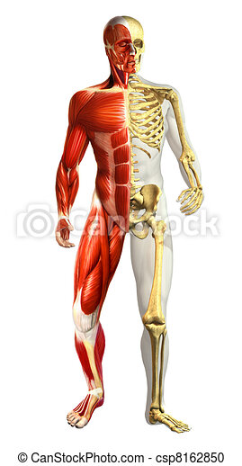 Anatomy illustration of man with half skeleton and half muscular representations. Photo realistic, on white background. - csp8162850