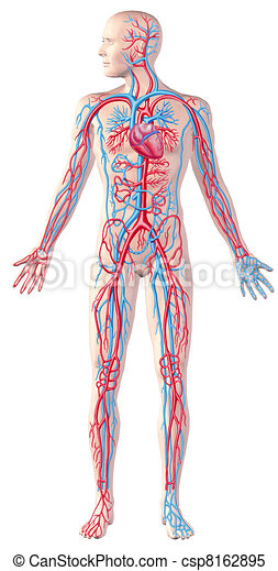 Human circulatory system, full figure, cutaway anatomy illustration, with  included. - csp8162895