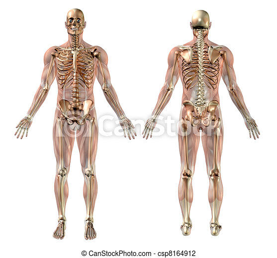 Male skeleton with Semi-transparent Muscles - csp8164912