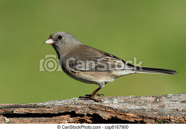 Junco On A Stump - csp8167900