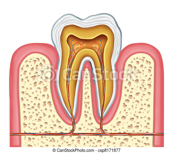 Anatomy of a healthy human tooth - csp8171877