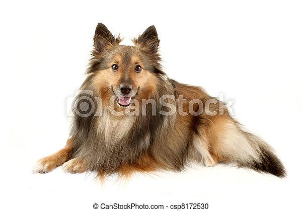 Beautiful furry Sheltie - csp8172530