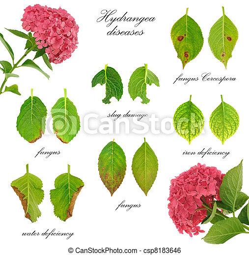 image de fleur maladies hortensia isol fond blanc macrophylla csp8183646 recherchez. Black Bedroom Furniture Sets. Home Design Ideas