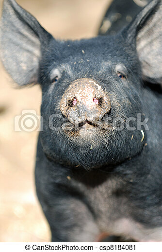 Hampshire Pig - csp8184081