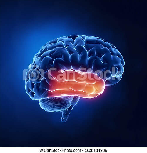 Temporal lobe - Human brain in x-ray view - csp8184986