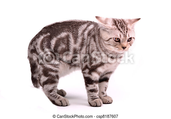Frightened scottish fold kitten has curved a back - csp8187607