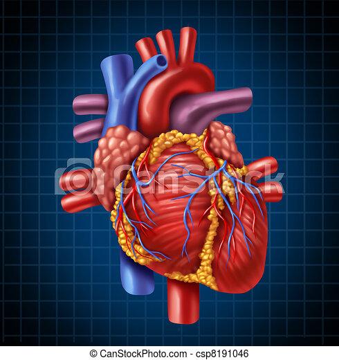 Human Heart Anatomy  - csp8191046