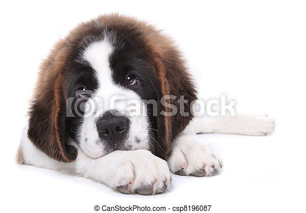 Cute Saint Bernard Purebred Puppy  - csp8196087
