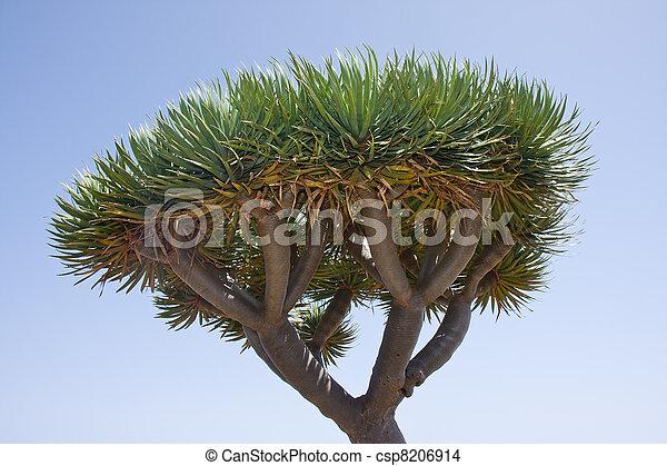 Dragon tree at La Palma, Spain - csp8206914