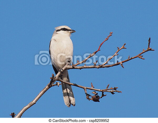 Northern Grey Shrike - csp8209952