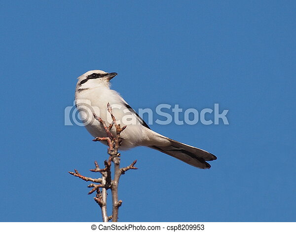 Northern Grey Shrike - csp8209953