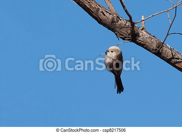 Long tailed tit, northern form - csp8217506