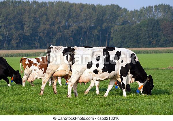 Cows - csp8218016