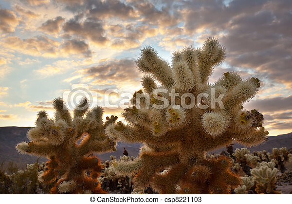 Cholla Cactus Garden Sunset Mojave Desert Joshua Tree National Park California  Teddy bear Cholla Cactus Cylindropuntia bigelovii Named for a teddy bear because from distance looks furry. - csp8221103