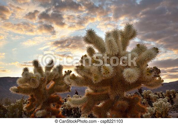 Cholla Cactus Garden Sunset Mojave Desert Joshua Tree National Park California  Teddy bear Cholla Cactus Cylindropuntia bigelovii Named for a teddy bear because from distance looks furry. - csp8221103