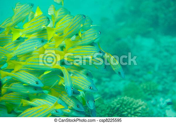 Many Bluestripe snapper fish - csp8225595