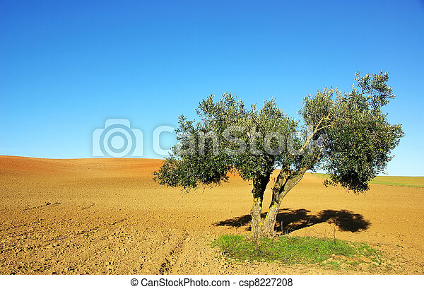 Olive tree  in the cultivated field - csp8227208