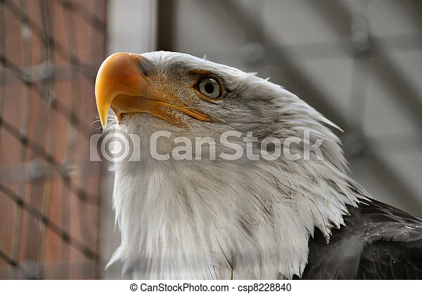 Bald Eagle in Rehabilitation Center - csp8228840