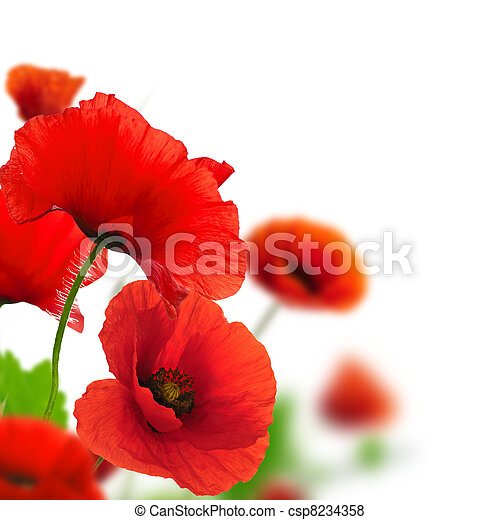Red poppies over a white background. Border floral design for an angle of page. Closeup of the flowers with focus and blur effect  - csp8234358
