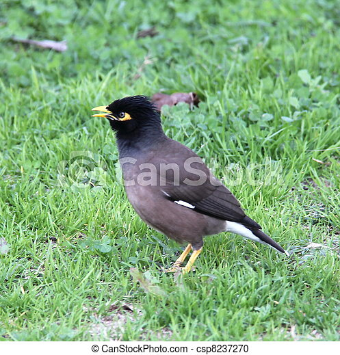 Stock Photography of Common Mynah Bird singing - Common ... - photo#42