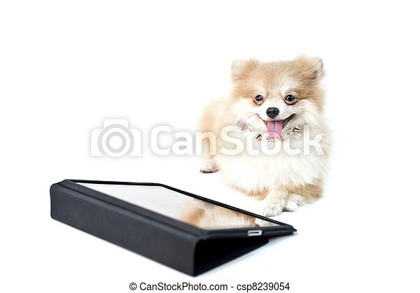 The cute Pomeranian dog over white with Ipad - csp8239054