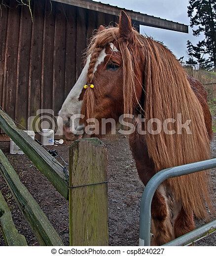 One Gypsy Vanner Horse - Super Long Mane