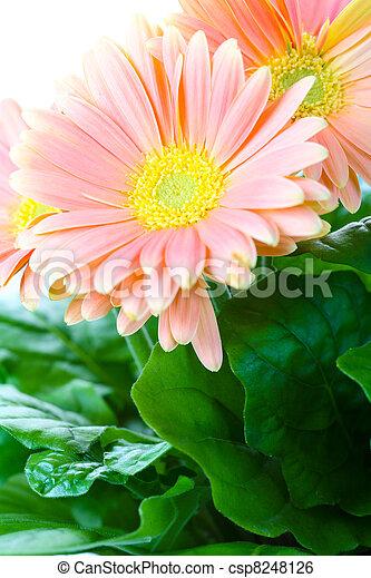 Beautiful decorative room flowers-chrysanthemums