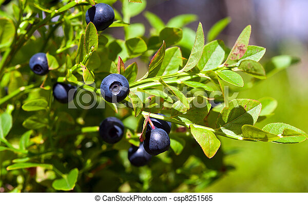 Bush of a ripe bilberry in the summer closeup - csp8251565