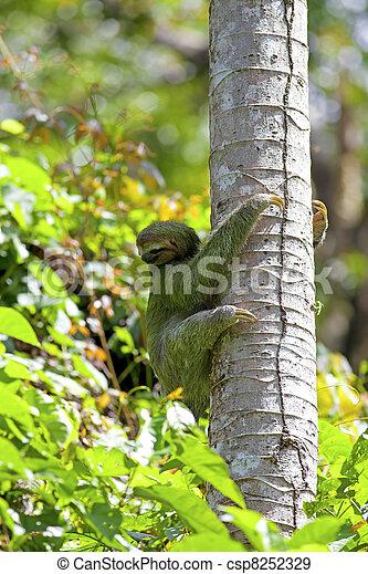 Three-toed Sloth - csp8252329